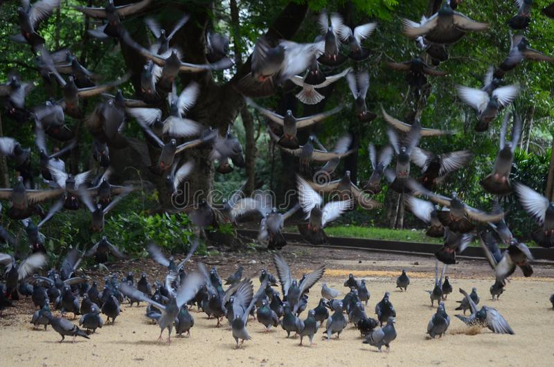Homing pigeons eating and flying in a flock or group stock photo