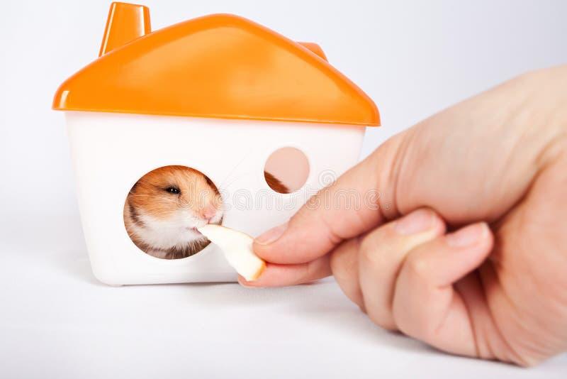 Homme alimentant un hamster dans la maison photos stock