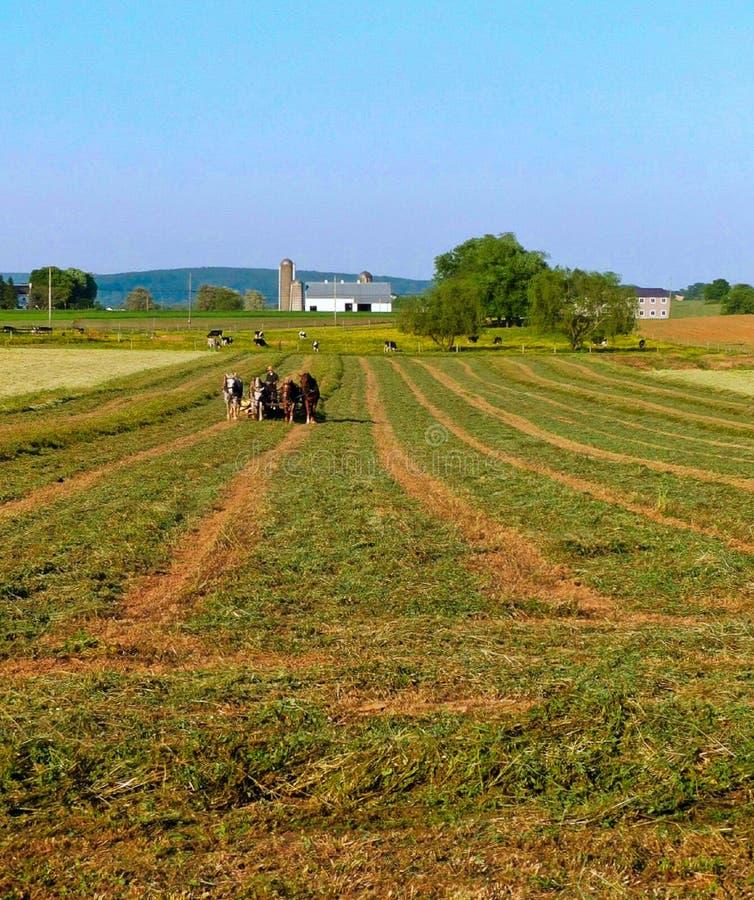 Homme amish et une équipe de quatre chevaux labourer un gisement de luzerne photographie stock