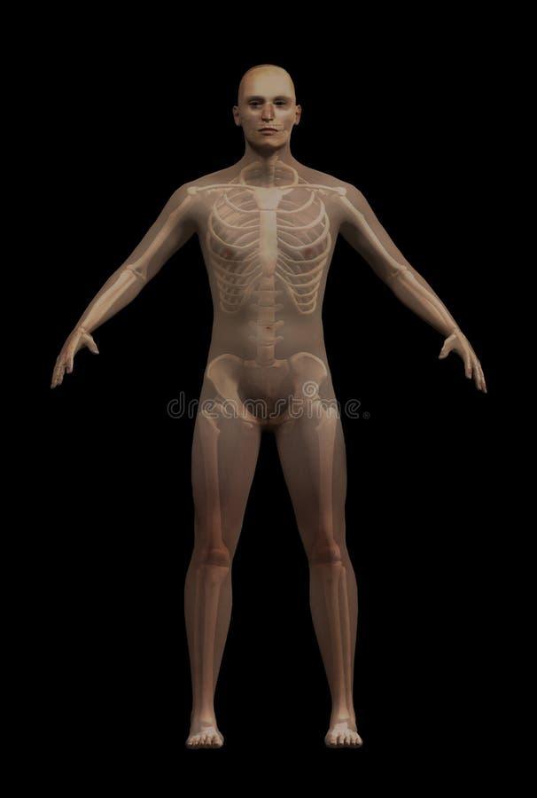Homme avec évident squelettique illustration stock