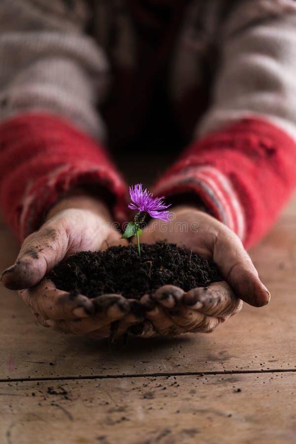 Homme avec les mains sales tenant une fleur pourpre dans un sol photographie stock libre de droits
