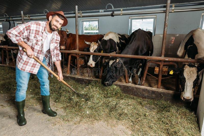 Homme avec les vaches de alimentation à fourche photos libres de droits