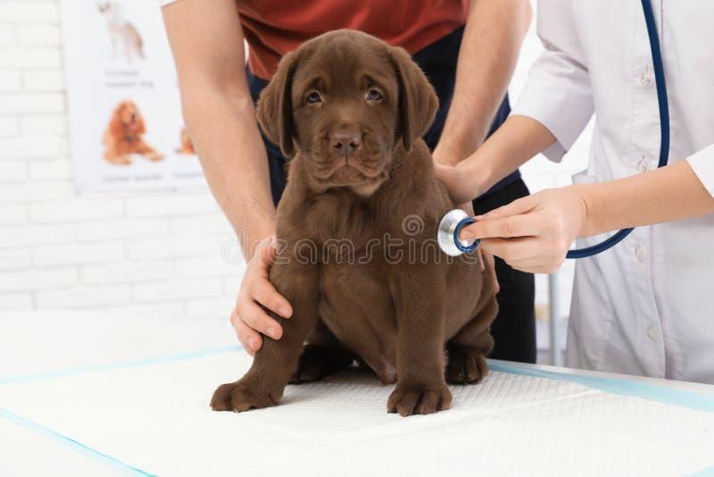 Homme avec son v?t?rinaire de visite d'animal familier Doc. examinant le chiot de Labrador photos libres de droits