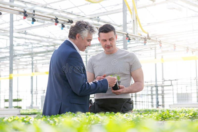 Homme d'affaires discutant au-dessus de la jeune plante d'herbe avec le botaniste dans la serre chaude photo stock