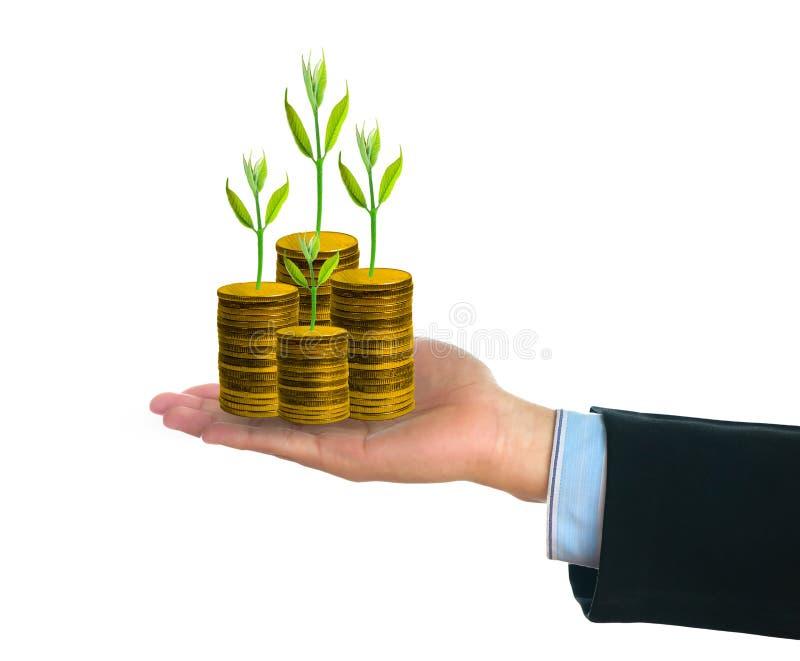 Homme d'affaires jugeant le petit arbre vert frais sur les pièces de monnaie d'or disponible images stock