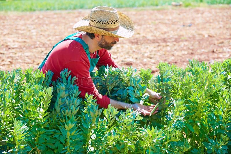 Homme d'agriculteur moissonnant des haricots de lima dans le verger photo stock