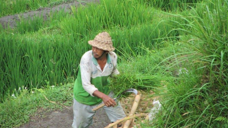 Homme dans le balinese de fauchage de premier plan photographie stock