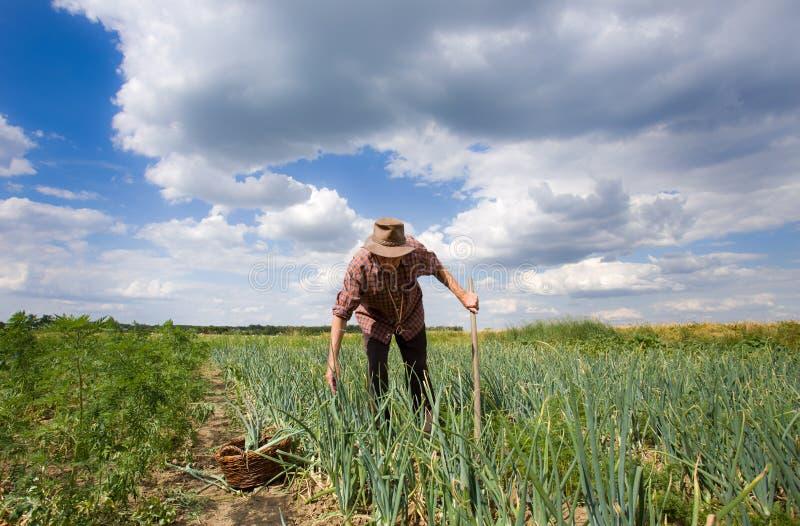 Homme dans le domaine d'oignon photographie stock libre de droits