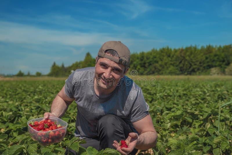 Homme dans un chapeau moissonnant des fraises sur un champ en Allemagne photos stock