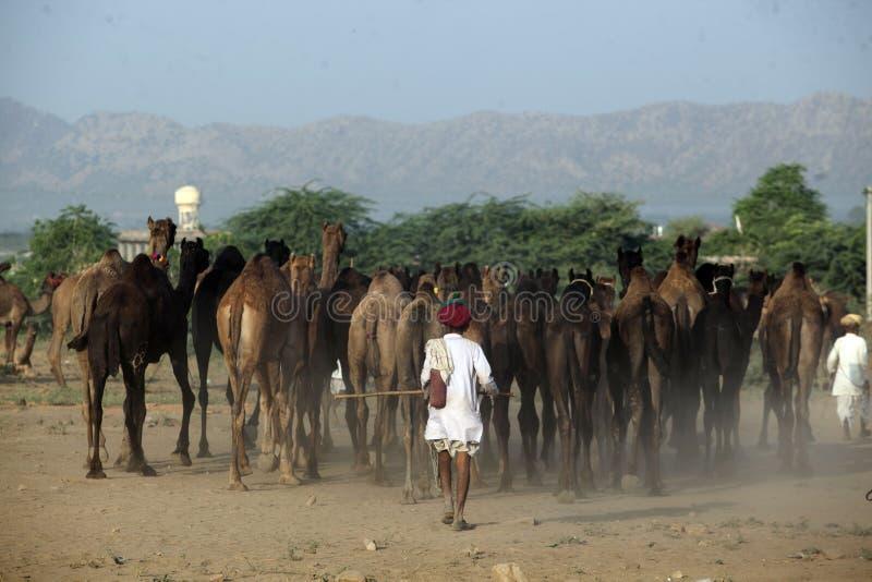 Homme de marche de chameau de dessert photographie stock libre de droits