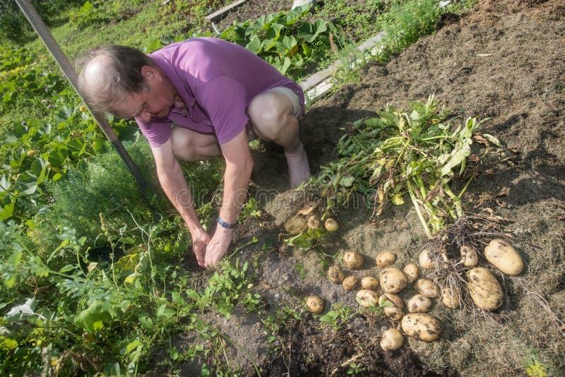Homme et pommes de terre pluss âgé photo libre de droits