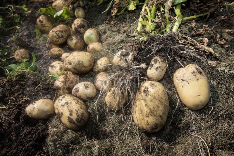 Homme et pommes de terre pluss âgé photographie stock