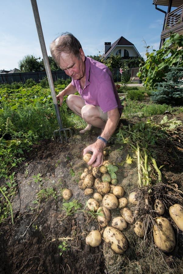 Homme et pommes de terre pluss âgé photos libres de droits