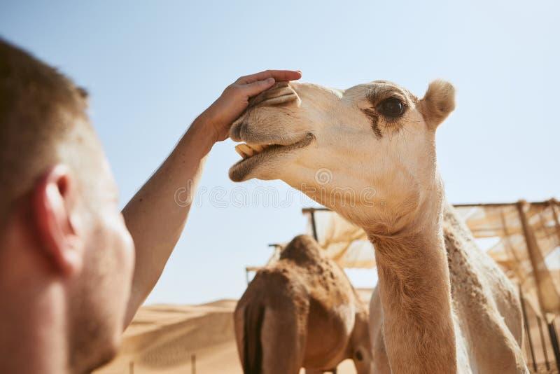 Homme frottant le chameau heureux image stock