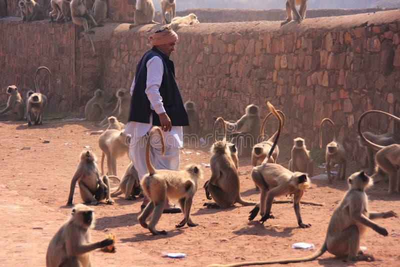 Homme indien se tenant près des langurs gris au fort de Ranthambore, Inde images libres de droits