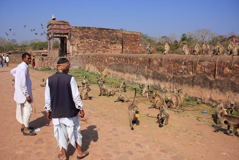 Homme indien se tenant près des langurs gris au fort de Ranthambore, Inde image libre de droits