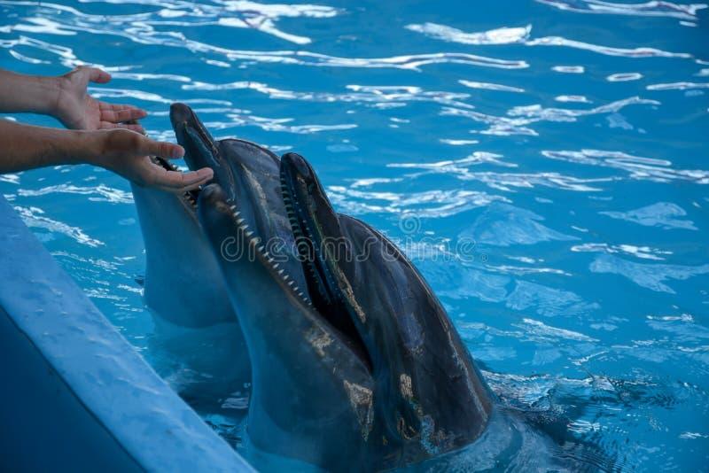 Homme jouant avec des dauphins photo libre de droits