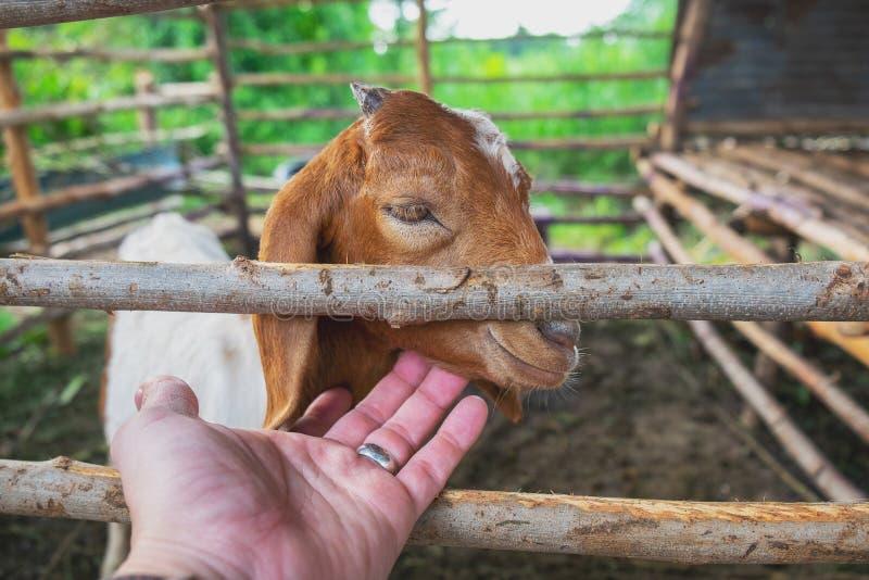 Homme jouant avec sa chèvre de bébé dans la cage de ferme photographie stock libre de droits