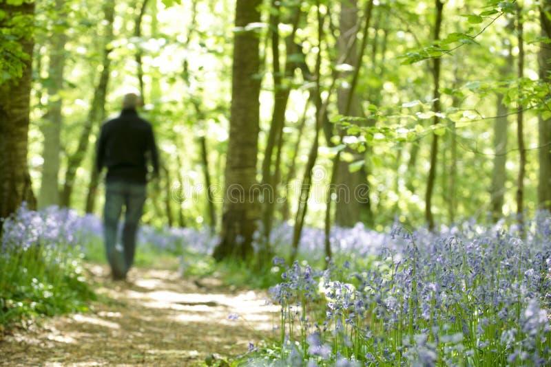 Homme marchant par la forêt de bluebells photographie stock libre de droits