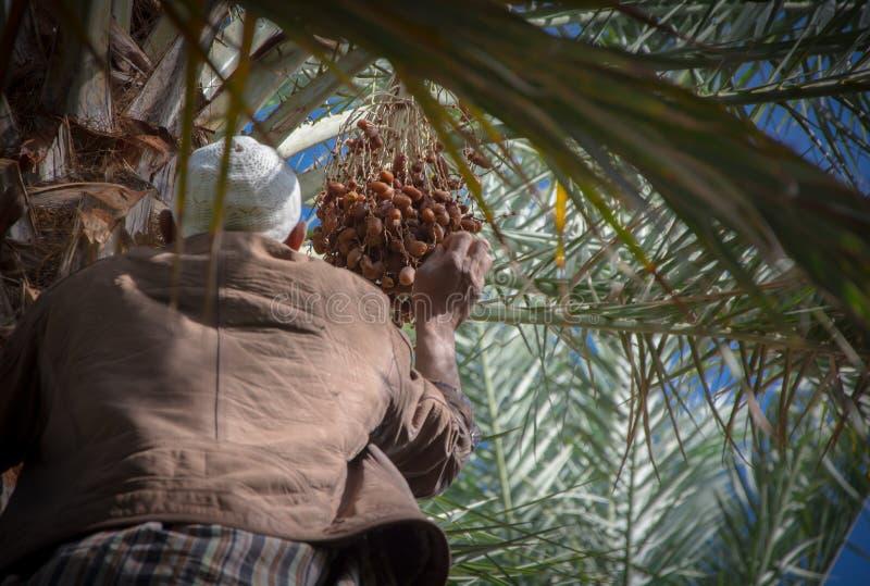 Homme marocain grimpant à un palmier et rassemblant des dates photographie stock libre de droits