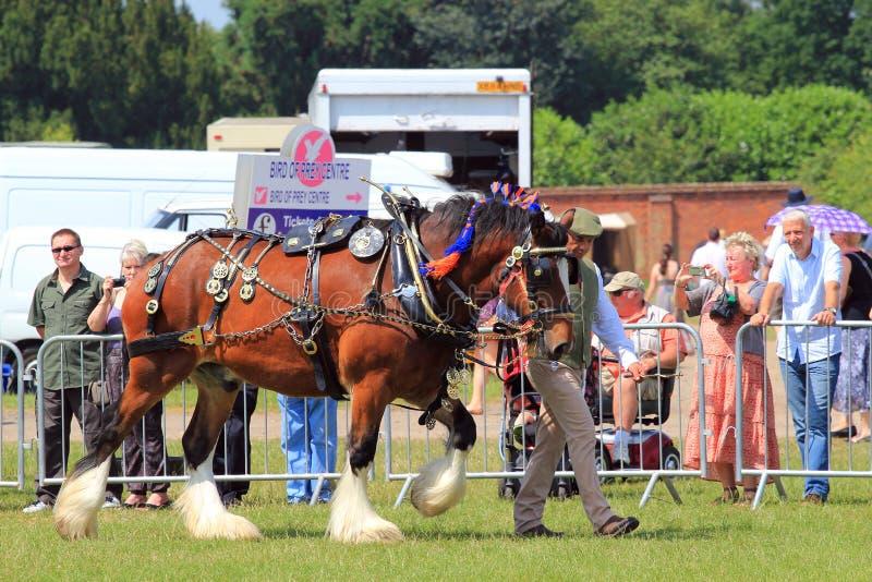 Homme menant un cheval de trait lourd. photos stock