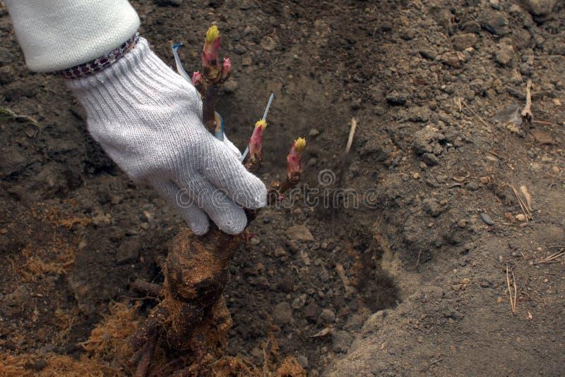 Homme plantant des pivoines d'arbre photos libres de droits