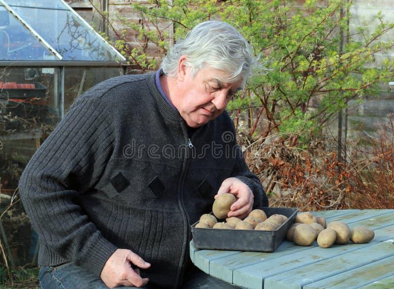 Homme plus âgé avec des pommes de terre de semence. images stock
