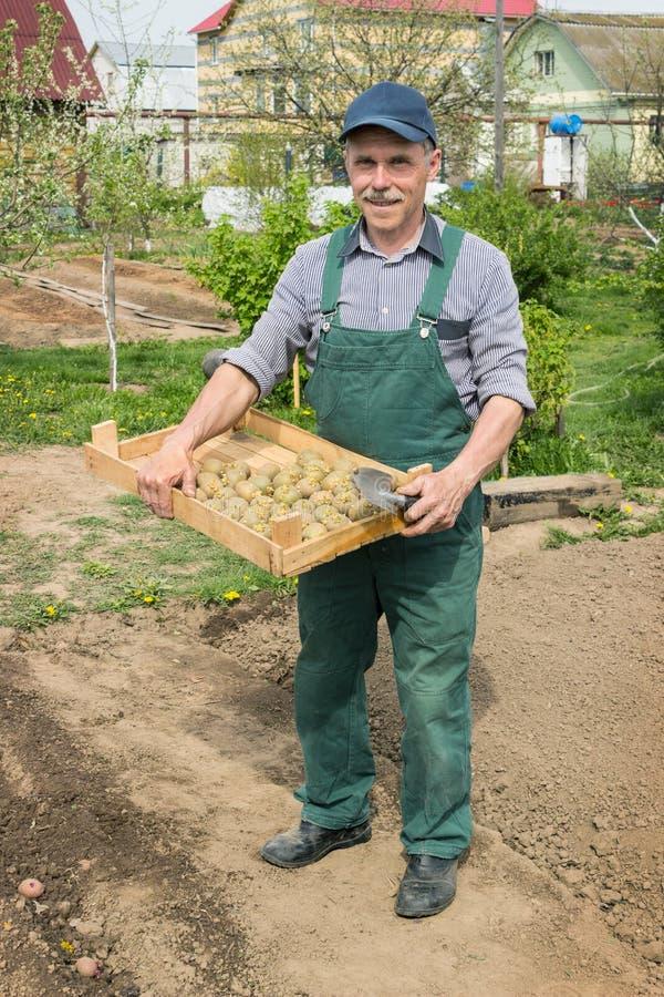 Homme plus âgé plantant des pommes de terre dans son jardin photo stock