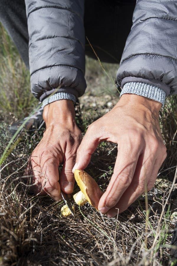 Homme sélectionnant un champignon jaune de chevalier photographie stock libre de droits