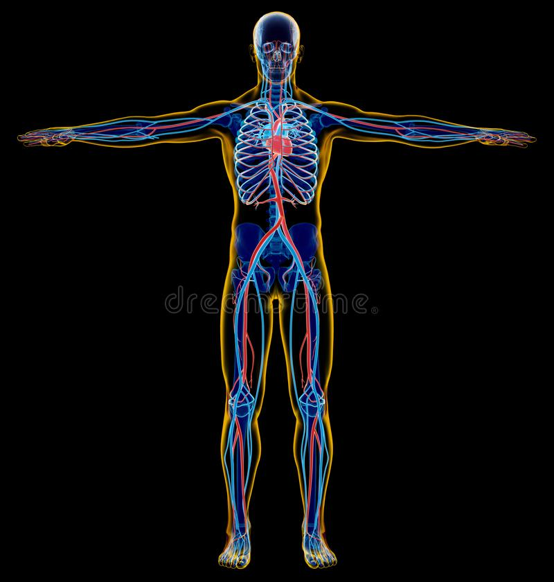 Homme squelettique et système cardio-vasculaire Rayon X illustration de vecteur