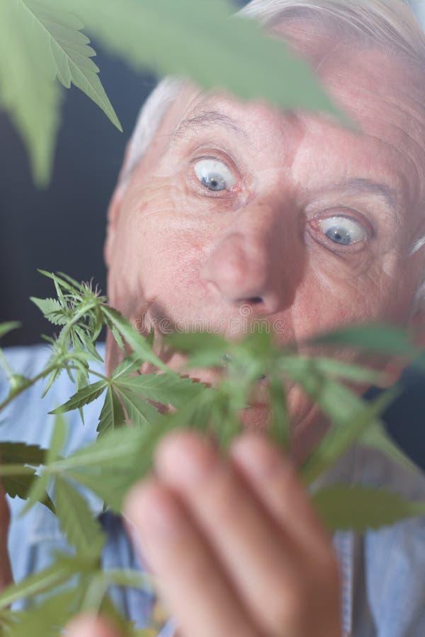 Homme supérieur étonné avec l'usine de cannabis photo stock