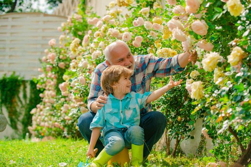 Homme supérieur avec le petit-fils faisant du jardinage dans le jardin Peu garçon et père au-dessus de fond de roses photo libre de droits