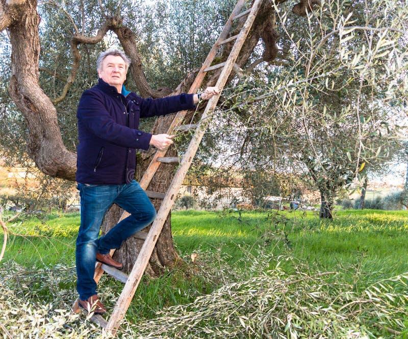 Homme sur l'olivier d'élagage d'échelle photo stock