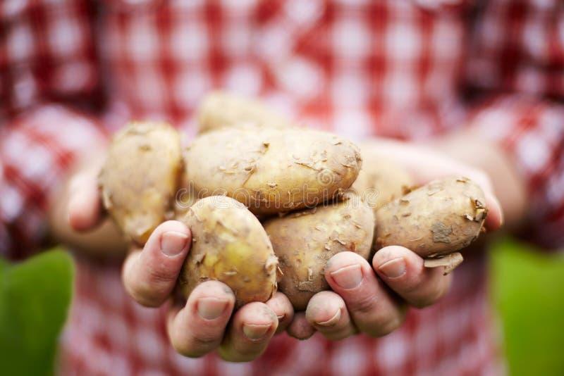 Homme tenant les pommes de terre de primeurs royales fraîchement sélectionnées de débardeur image stock