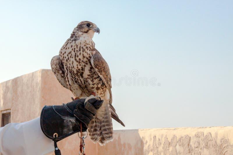 Homme tenant son faucon avant de l'employer pour chasser dans le désert photographie stock libre de droits