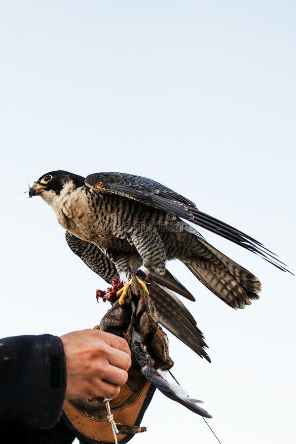 Homme tenant un faucon avant de l'employer pour chasser des oiseaux dans une forêt photographie stock libre de droits