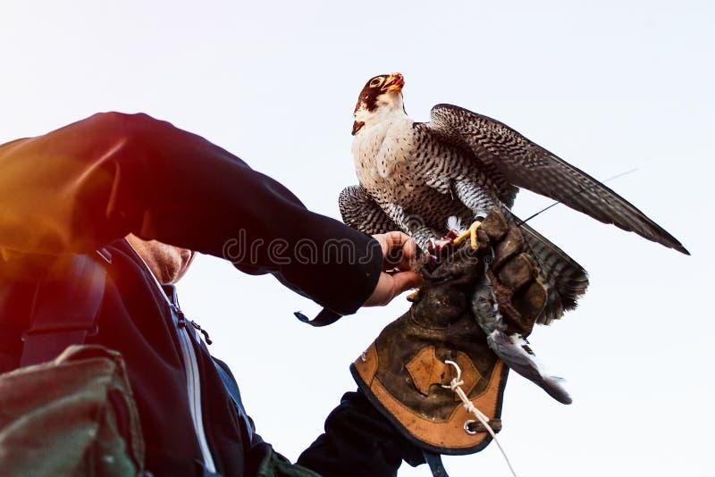 Homme tenant un faucon avant de l'employer pour chasser des oiseaux dans une forêt photographie stock