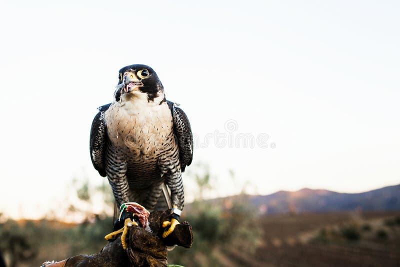 Homme tenant un faucon avant de l'employer pour chasser des oiseaux dans une forêt photo libre de droits