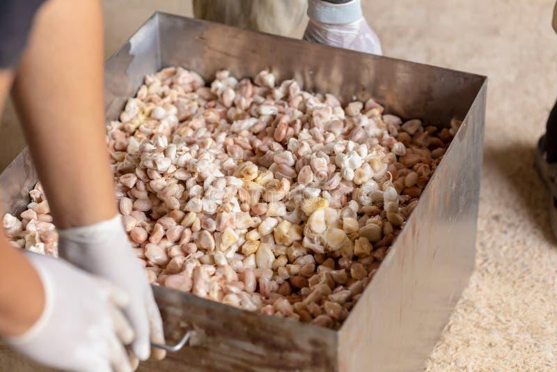 homme tenant un fruit mûr de cacao avec des haricots à l'intérieur et apporter des graines hors de la gaine photo stock