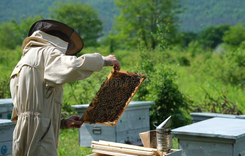 Homme tenant un nid d'abeilles compl?tement des abeilles Apiculteur dans les v?tements de travail protecteurs inspectant le cadre photographie stock libre de droits
