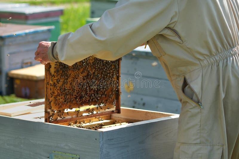 Homme tenant un nid d'abeilles compl?tement des abeilles Apiculteur dans les v?tements de travail protecteurs inspectant le cadre photo libre de droits