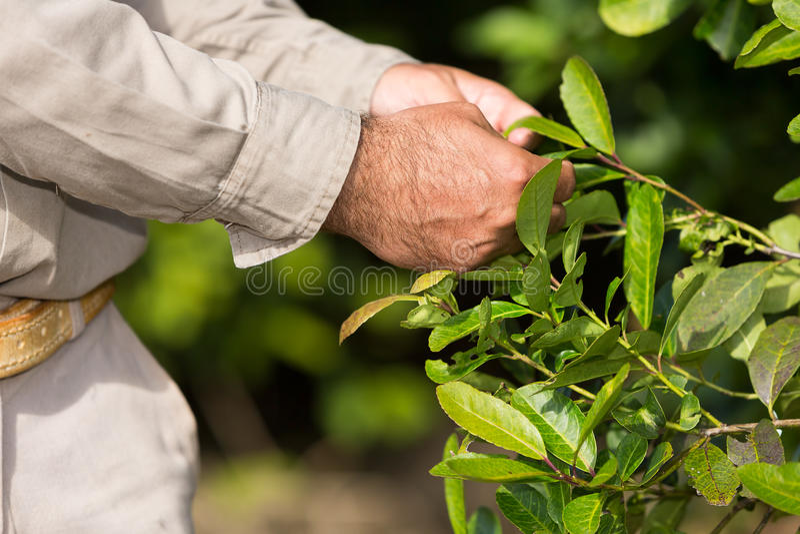 Homme travaillant dans une plantation de compagnon de yerba photographie stock