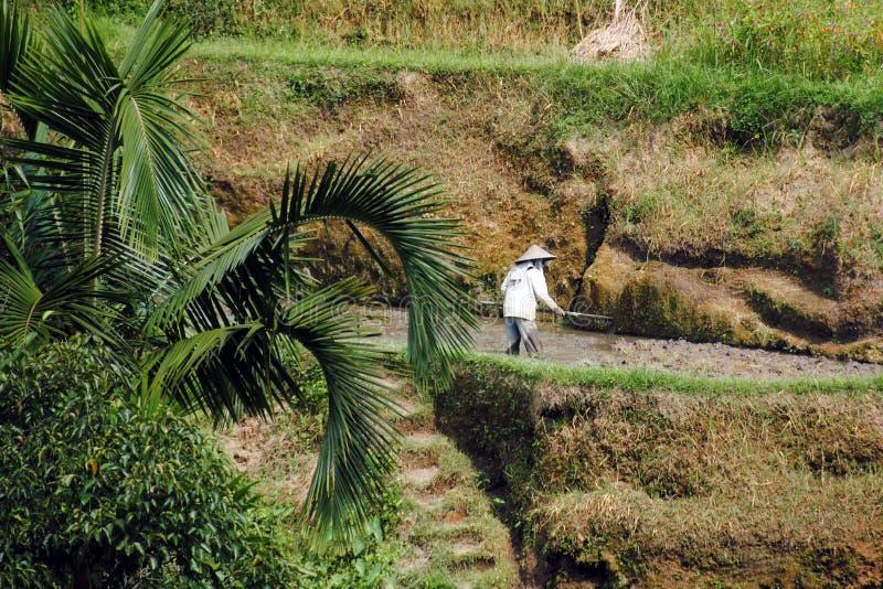 Homme travaillant dans une plantation traditionnelle de riz images libres de droits