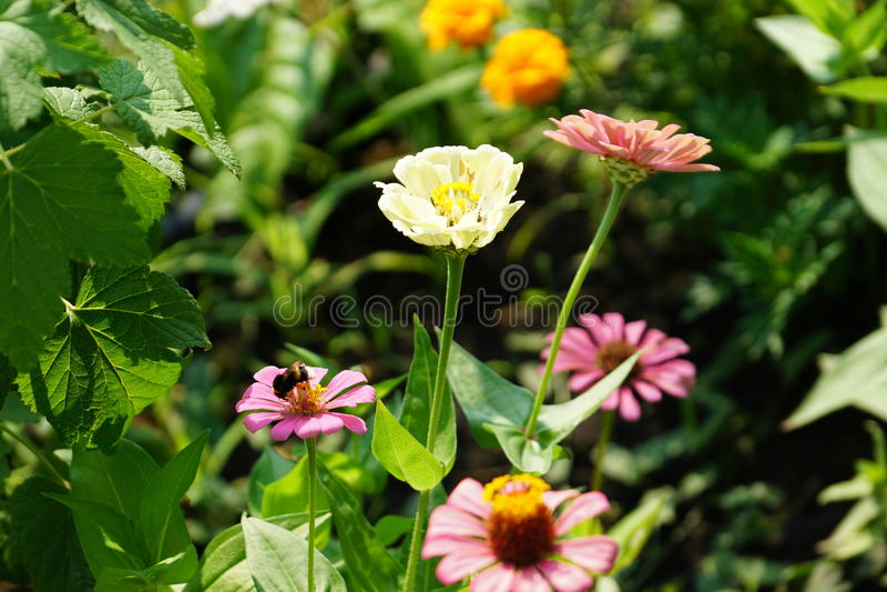 Hommel in de tuin stock foto's