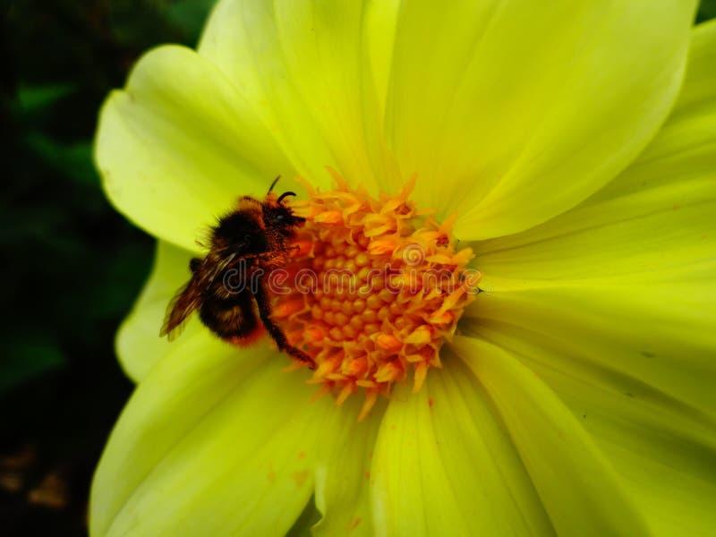 Hommel die nectar op een grote gele dahlia zoeken stock afbeeldingen