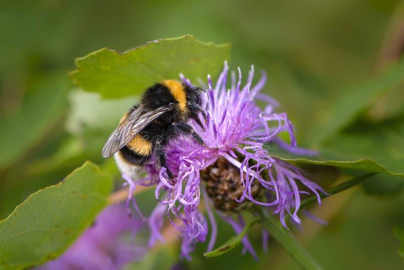 Hommel die nectar op een violette bloem van zeug-distel verzamelen stock afbeelding