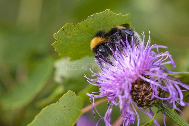 Hommel die nectar op een violette bloem van zeug-distel verzamelen stock foto's