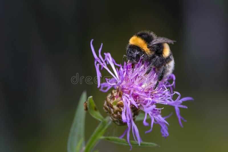 Hommel die nectar op een violette bloem van zeug-distel verzamelen royalty-vrije stock afbeelding