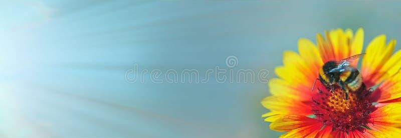 Hommel die die op een bloem rusten door de stralen van de zon wordt aangestoken Bnner, stock afbeelding
