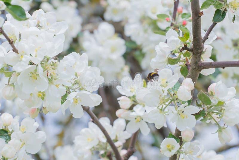 Hommel die witte bloemen en knoppen van de boom van de tuinappel bestuiven stock afbeeldingen